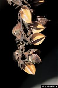 Paulownia seed pods