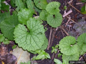 Garlic mustard basal rosettes