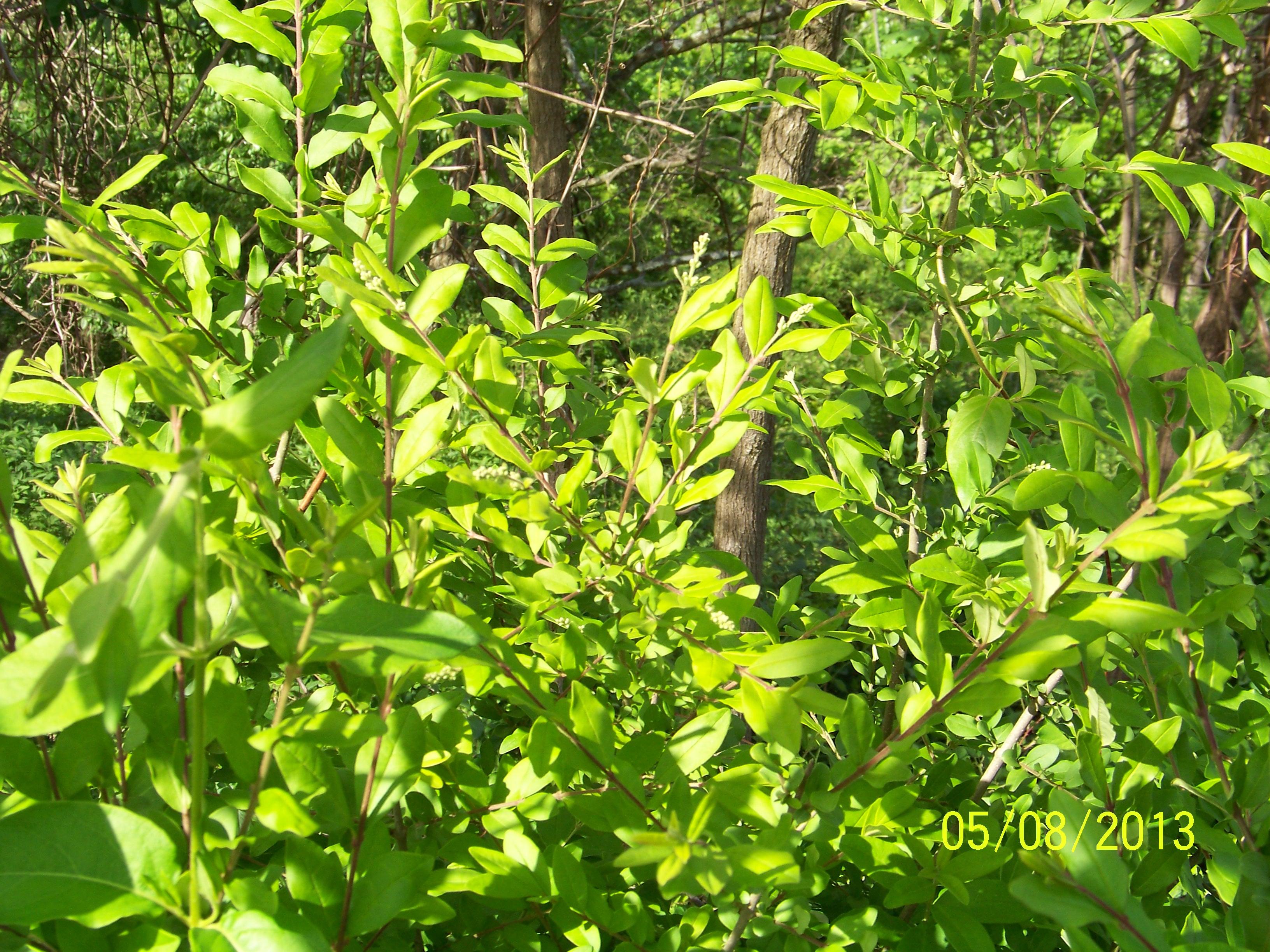 Invasive Phenology Updates Appalachian Ohio Weed Control