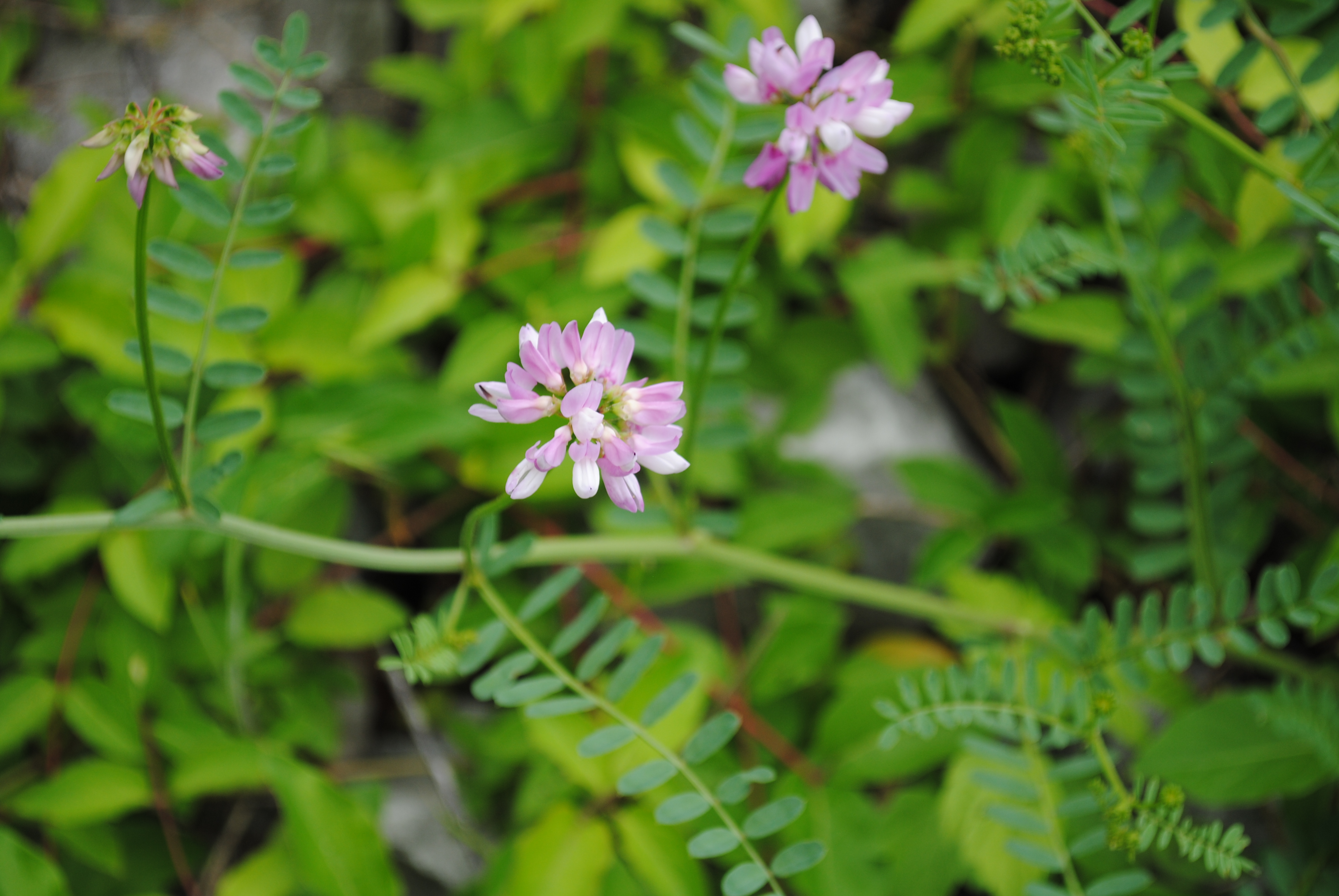 Crown vetch appalachian ohio weed control partnership crown vetch securigera varia flowering below is a good picture of crown vetch foliage mixed in with some oxeye daisy izmirmasajfo