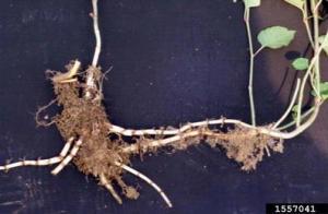 underground rhizomes